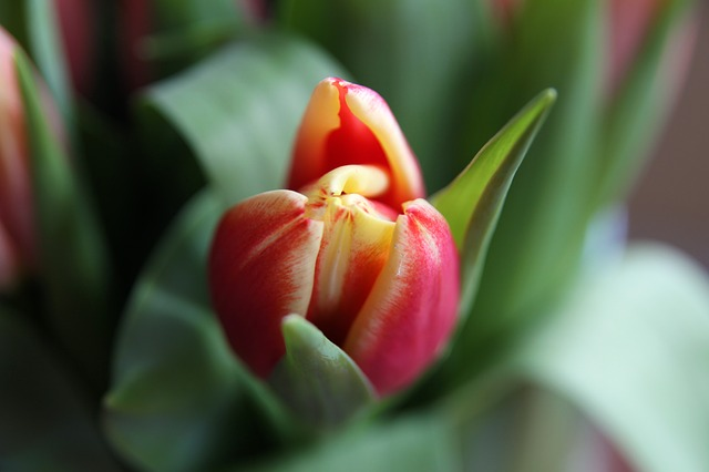 flower, tulip, plant, macro, nature, red, beautiful