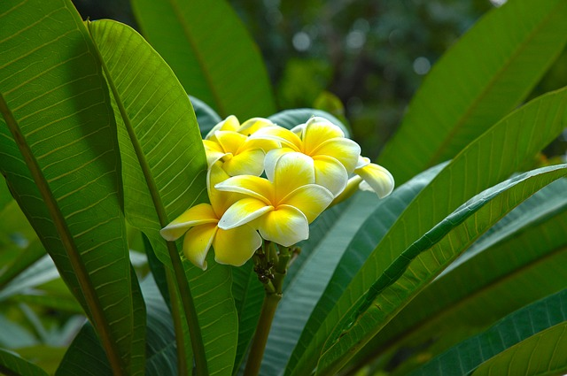 flower, yellow, frangipani, plumeria, white yellow