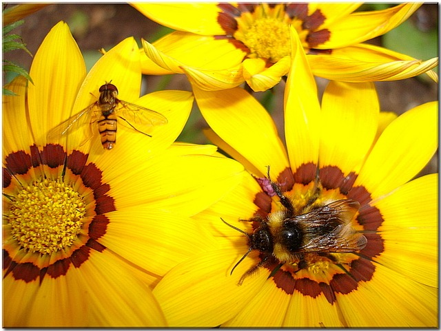 flower, yellow, garden, summer, insect, hummel