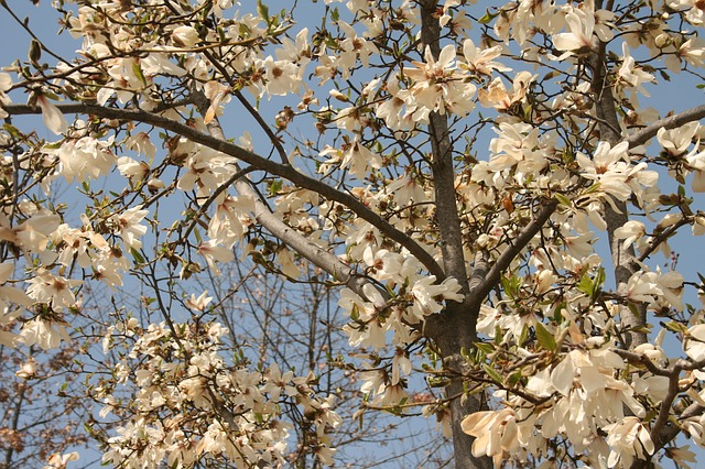 flowers, flower tree, flower, spring, plants, white