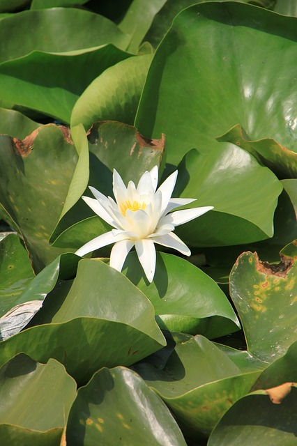 flowers, fragrant, lake, lily, neptun, nymphaea