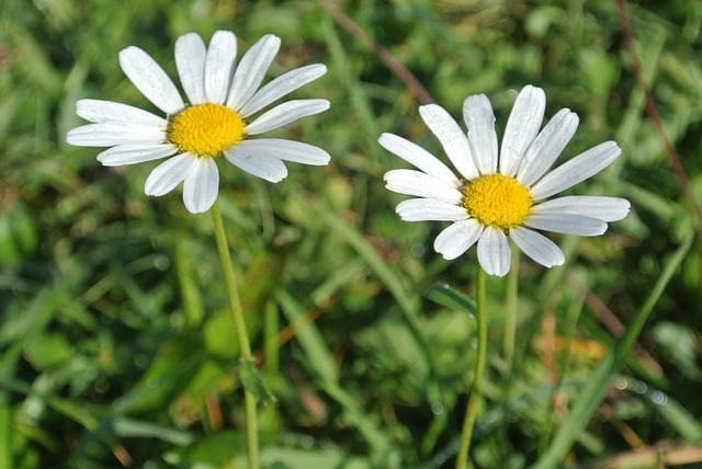flowers, margerithen, white flowers, flower, nature