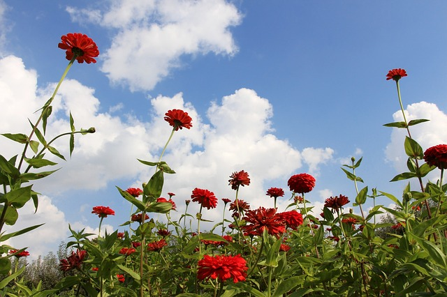 flowers, red flowers, flowery sky, ambition, reaching