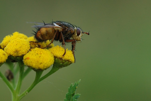 fly, bug, macro, ugly, hairy, flower, yellow, nature