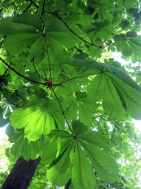forest, nature, trees, chestnut leaves, may, frisch