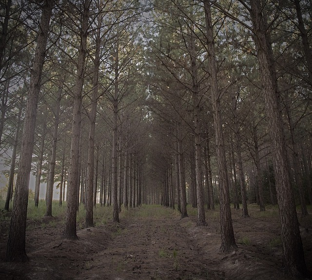 forest, trees, pine, pine needles, nature, pine branch