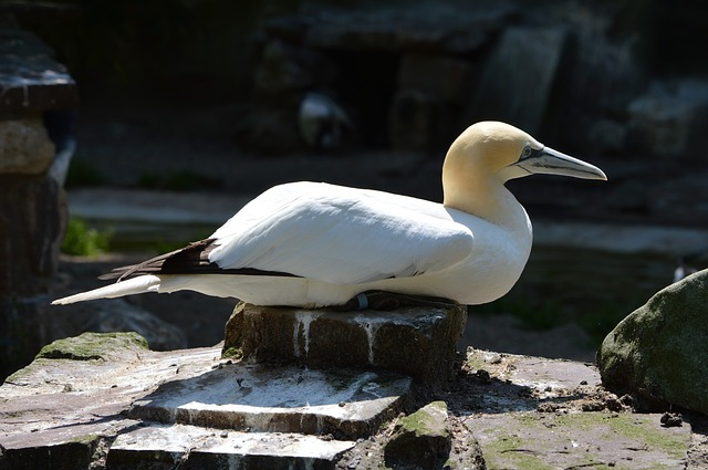 gannet, bird, water bird, animal, nature, artis