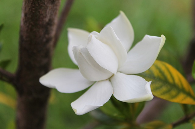 gardenia, flower, white, summer, nature