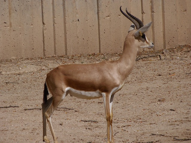 gazelle, animals, mammals, zoo, deer