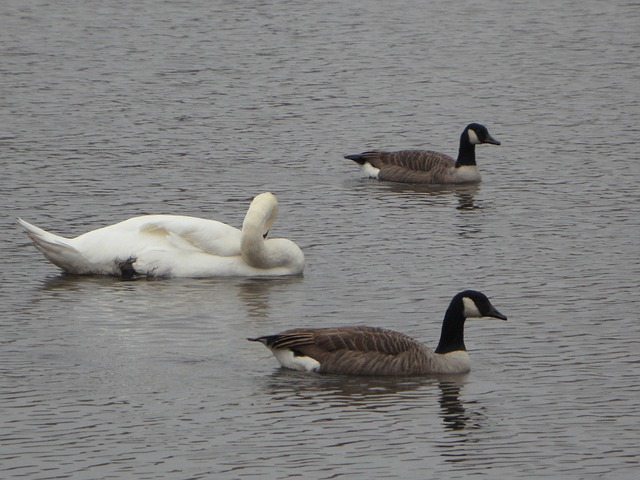 geese, canada geese, goose, canada goose, swim, see