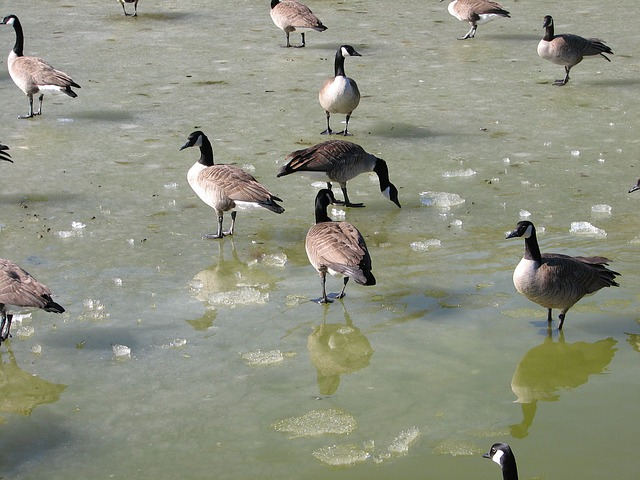 geese, goose, canada, frozen, pond, water, ice