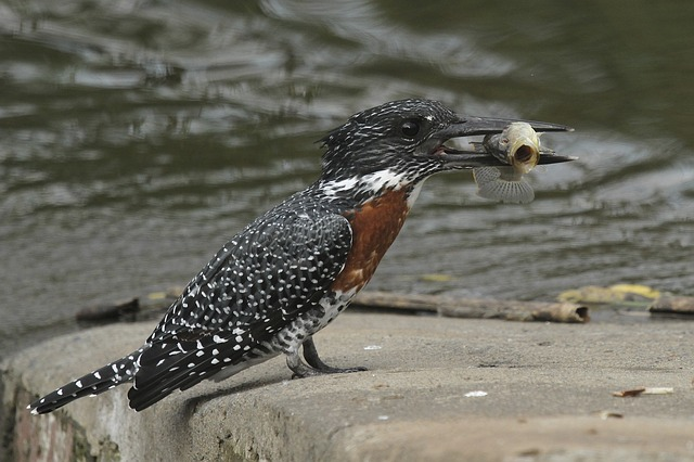 giant kingfisher, bird, feathers, kingfisher, wings