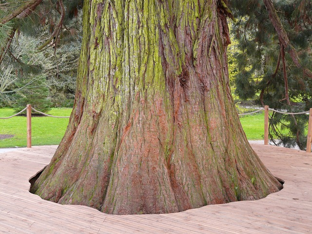 giant redwood, sequoiadendron giganteum, tree, sequoia