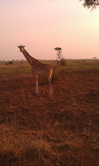 giraffe, safari, uganda, savanna, wild, nature, animals