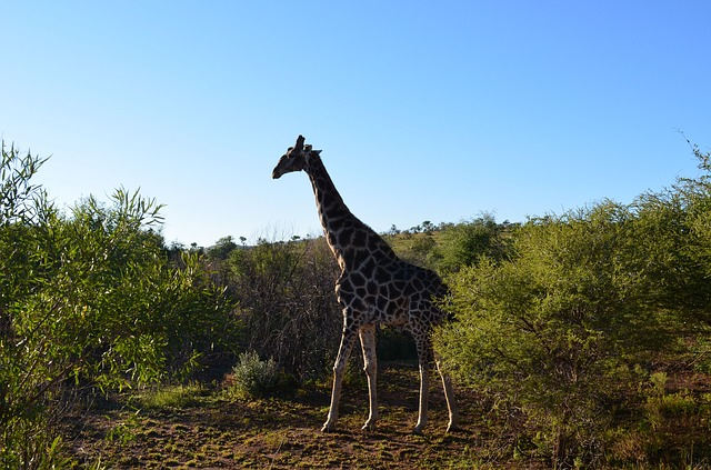giraffe, wildlife, south africa, africa, animals