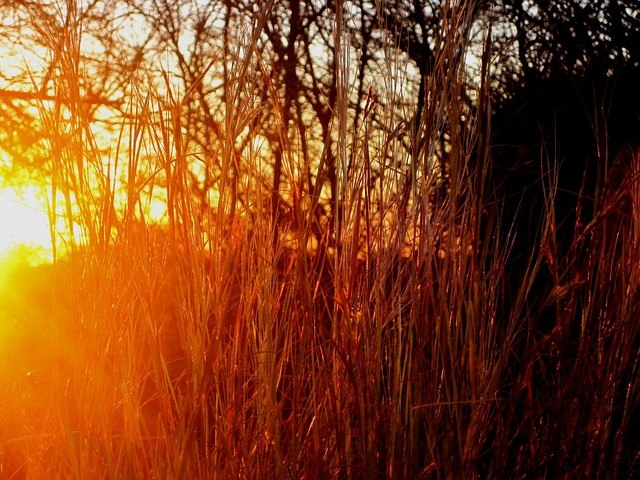 grass, straw colored, long, dry, thick, veld, glowing