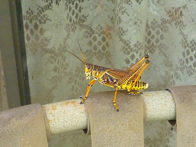 grasshopper, brown, yellow, insect, color, outside