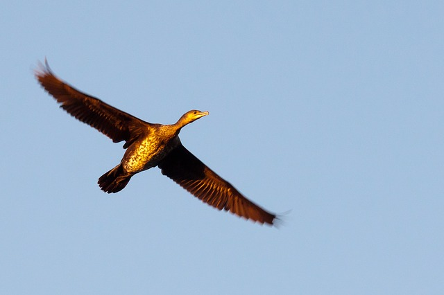 great cormorant, wings, bird, fly, close up, biesbosch