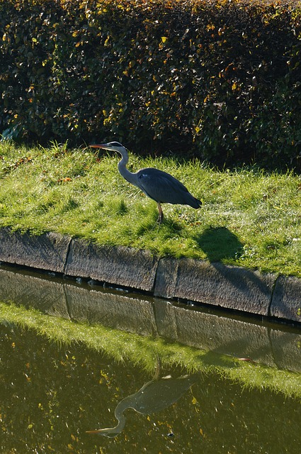 grey heron, ardea cinerea, heron, water