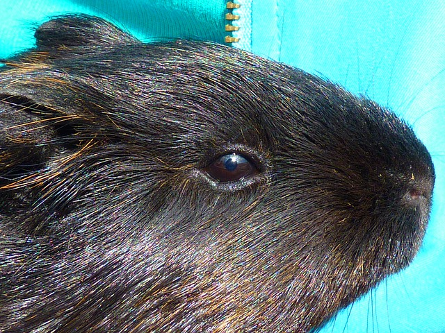 guinea pig, rodent, black, animal, creature, cute