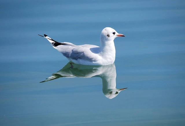gull, bird, nature, pets, animal world, waterfowl