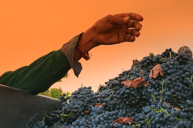 hand, grapes, arm, vineyards, shiraz, harvest