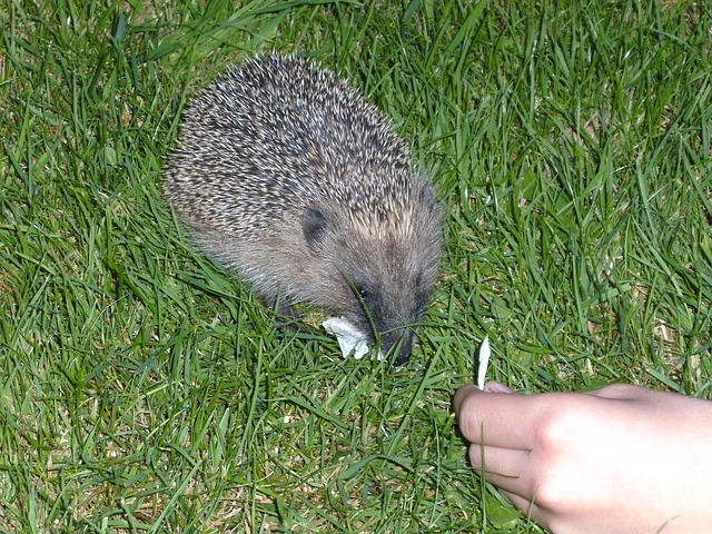 hedgehog, animal, prickly, nature, rush, nocturnal