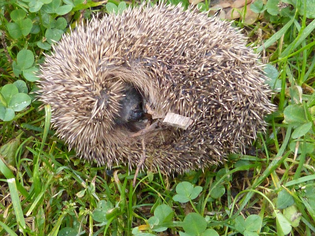 hedgehog, erinaceus europaeus, spur, ball, animal