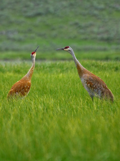 heron, beaks, red, brown, large, 2, showed two, grass