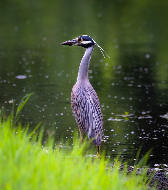 heron, bird, wildlife, water, fishing, animal, fowl
