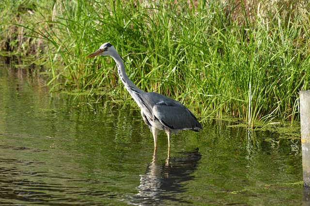heron, waterfowl, bird, fish, fishing, nature, animal