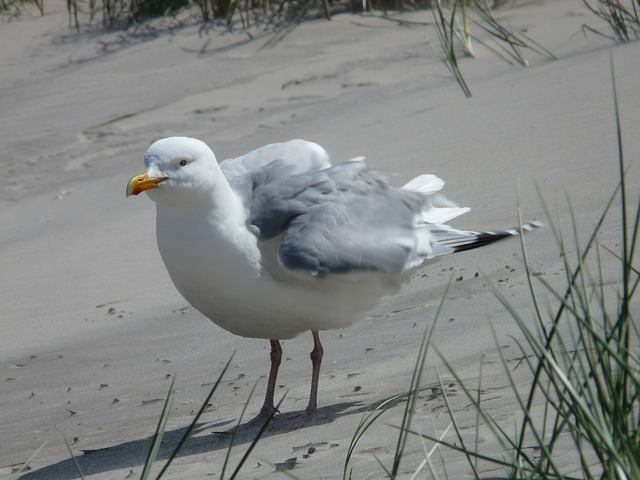 herring gull, seagull, fluffed up, windy