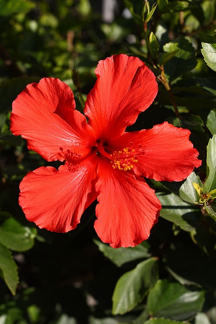 hibiscus, flower, bloom, plant, nature, foliage