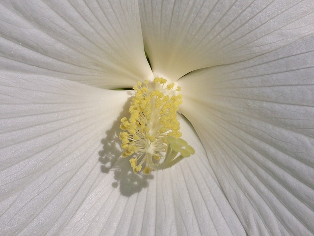 hibiscus, white, flower