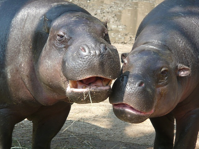 hippo, zoo, hippopotamus, river horse, animal