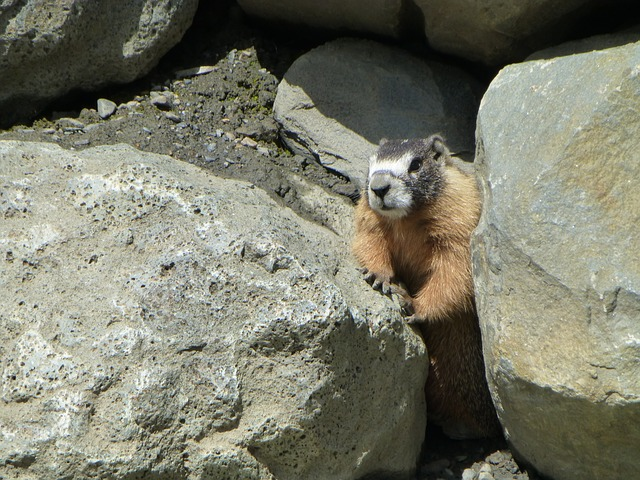 hoary, marmot, rodent, nager, cute, fur, furry, mammal