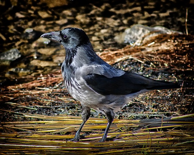 hooded crow, bird, macro, closeup, hdr