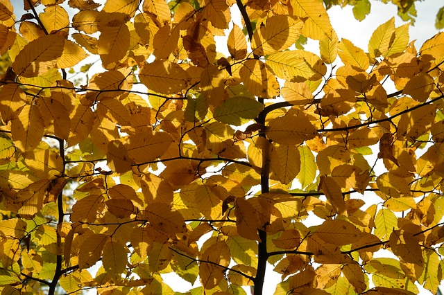 hornbeam, tree, autumn, leaves, fall color, yellow
