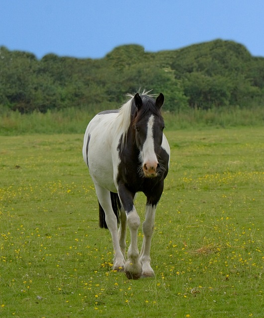 horse, animal, beautiful, pinto, black, white, blue