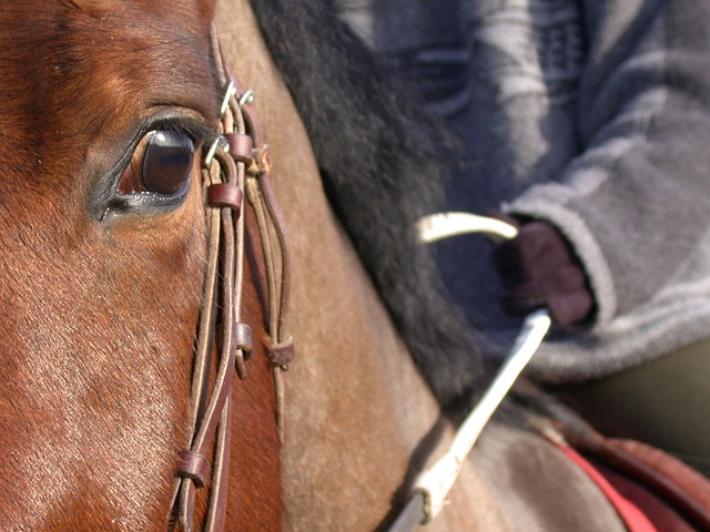 horse, close up, eye, bai color, horse head, halter