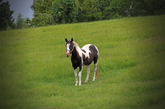 horse, pinto, painted, meadow, spotted, pony