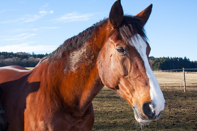 horses, pets, domestic solipeds, mammal, family equidae