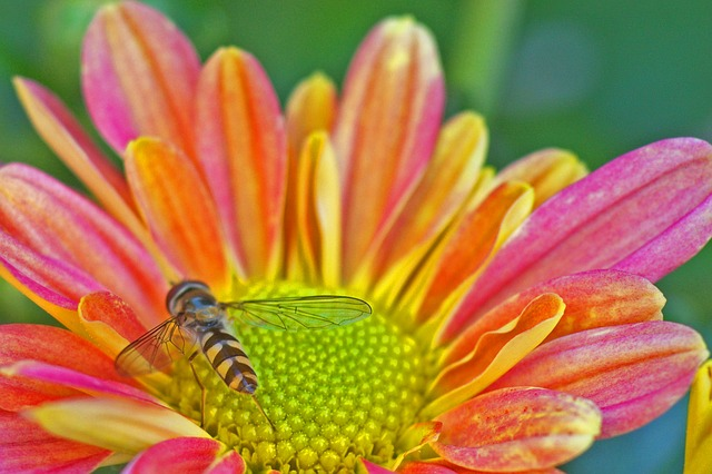 hoverfly, insect, nature, flower, summer, colorful