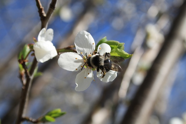 hummel, flower, spring, plant, insect, cherry blossom