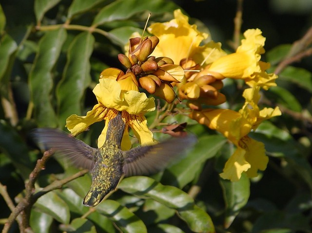 hummingbird, flower nectar, nectar, drink, fly, float