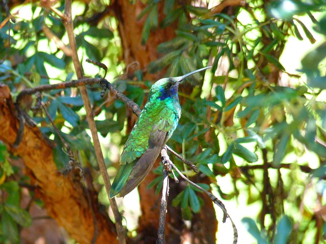 hummingbird, trochilidae, bird, shimmer, green, small