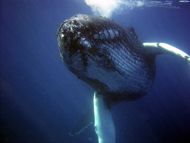 humpback, whale, sea, ocean, water, underwater