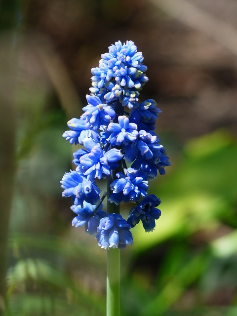 hyacinth, muscari armeniacum, flower, blue