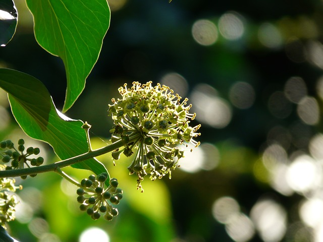 inflorescence, flower, bloom, ivy, common ivy
