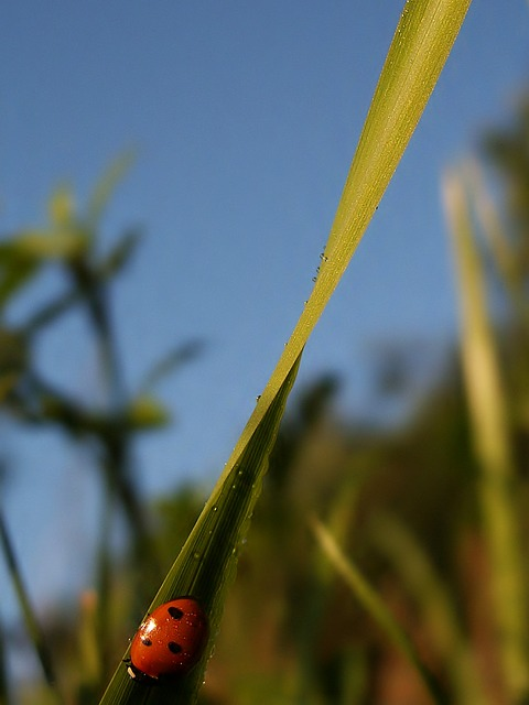 insects, ladybug, red, grass, a blade of grass, sky